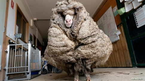 Baarack the sheep is seen before his thick wool was shorn in Lancefield, Victoria, Australia. The sheep, found wandering wild in an Australian forest, was liberated from years' worth of wool weighing 78 pounds.