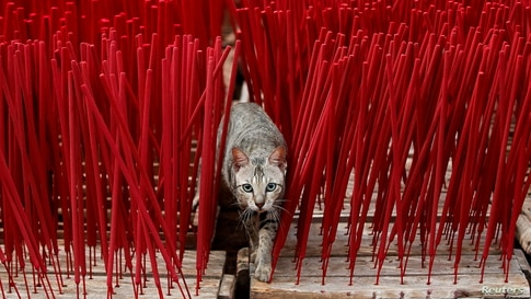 A cat is seen among incense sticks drying at a factory, ahead of the Chinese Lunar New Year, in Tangerang, on the outskirts of Jakarta, Indonesia.