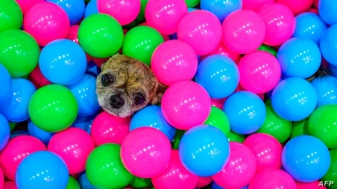 A chihuahua sits in a pool full of plastic balls at the 10th Thailand international Pet Variety Exhibition in Bangkok on March…