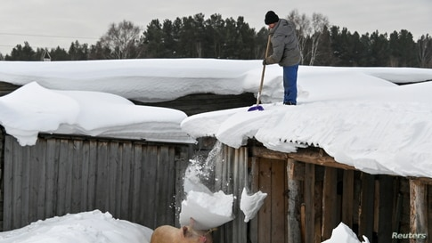 A local resident stands on the roof of a wooden building while removing snow, which falls down on pigs in a courtyard in the…