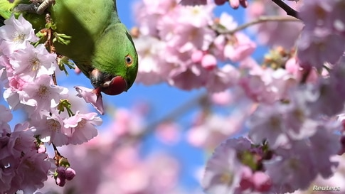 A parakeet eats a cherry blossom in St. James's Park, London, Britain, March 19, 2021.