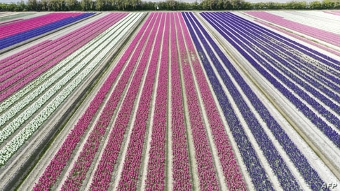 An aerial picture shows a field of hyacinths in Plomeur, western France.