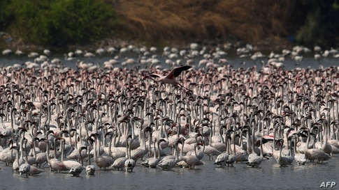 Flocks of flamingos are pictured in a pond in Navi Mumbai, India.
