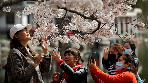 Visitors take photos of cherry blossoms at the Yuyuantan Park during a spring festival in Beijing, China.