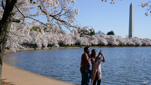 A man and a woman take a selfie under blooming Yoshino cherry trees on the edge of the Tidal Basin in Washington, D.C.