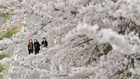 Visitors walk under cherry blossoms in full bloom at a park in Seoul on April 2, 2021. (Photo by Jung Yeon-je / AFP)
