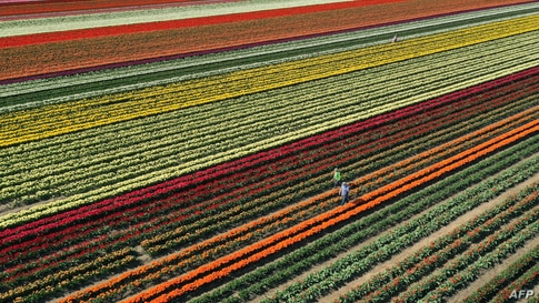 An aerial view shows a tulip field near Grevenbroich, western Germany, on April 23, 2021. (Photo by INA FASSBENDER / AFP)