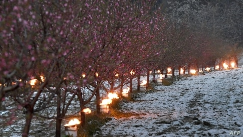 Anti-frost candles burn to protect trees from frost in an orchard as temperatures are expected to fall bellow zero degrees celsius in the next few days in Westhoffen, eastern France.
