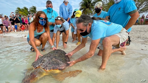 """Bette Zirkelbach, L, and Richie Moretti, R, manager and founder respectively of the Florida Keys-based Turtle Hospital, release """"Sparb,"""" a sub-adult loggerhead sea turtle, at Sombrero Beach in Marathon. (photo provided by the Florida Keys News Bureau)"""