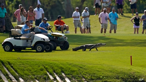 Tournament officials use golf carts to coax an alligator off of the 17th fairway and back into the water during the third round of the PGA Zurich Classic golf tournament at TPC Louisiana in Avondale, April 24, 2021.