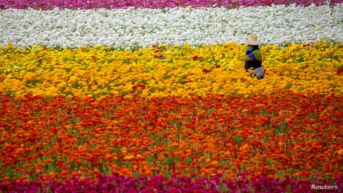 "A field worker picks Ranunculus flowers at ""The Flower Fields"" in Carlsbad, California."