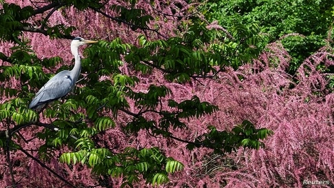 A grey heron is seen at the Sempione park in Milan, Italy.