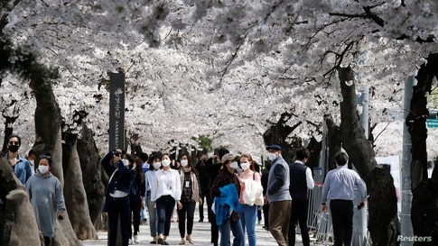 People walk on a street lining with blossoming cherry trees in Seoul, South Korea.