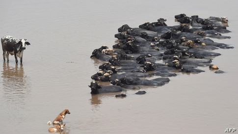 Buffalos cool off in the Ravi river during a hot day in Lahore, Pakistan, May 29, 2021.