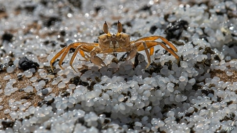 A crab roams on a beach polluted with polythene pellets that washed ashore from burning ship MV X-Press Pearl anchored off Colombo port at Kapungoda, out skirts of Colombo, Sri Lanka.