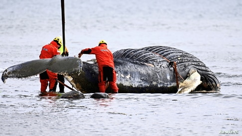 Workers prepare to lift the humpback whale stranded near the Segerstad Lighthouse, on the shores of the Baltic Sea, out of the water to be transported to an incineration facility, on Oland island, Sweden.