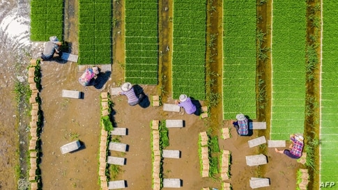 Farmers plant rice in a paddy in Haian, in China's eastern Jiangsu province.