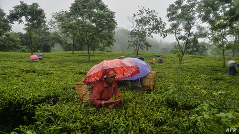 Workers pluck tea leaves during a rainfall following a relaxation of lockdown restrictions imposed to curb the spread of the Covid-19, at Rohini village, some 15 km from Siliguri, Inida, June 14, 2021.