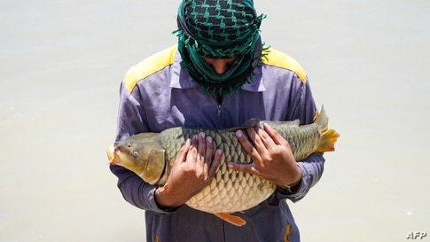 A worker carries a carp at a breeding site in Iraq's central city of Najaf.