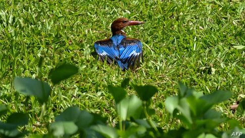 A white-throated kingfisher dries its feathers in a park in Singapore.