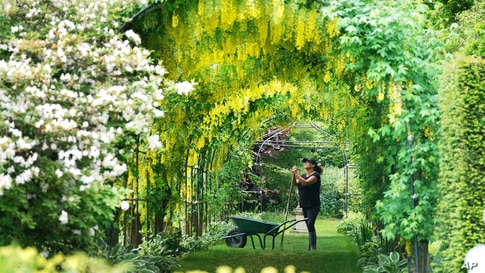 Gardener Nicola Bantham tends to the laburnum on a hot day at Seaton Delaval Hall in Northumberland, England.
