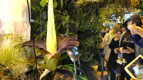 People come to see the rare blooming of the endangered Sumatran Titan arum, or the corpse flower, that is in fool bloom for just a few hours, emitting rotten meat odor, at the Warsaw University Botanical Gardens, in Warsaw, Poland, June 13, 2021.