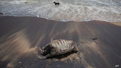 Decomposed remains of a turtle lies on a beach polluted following the sinking of a container ship that caught fire while transporting chemicals off Kapungoda, outskirts of Colombo, Sri Lanka.