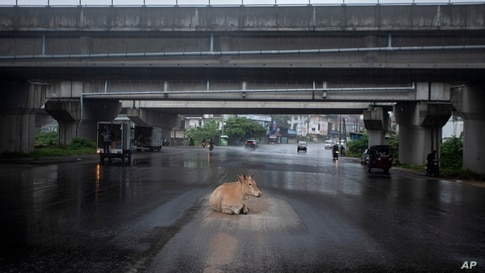 A cow takes refuge from rain under an overpass at a generally crowded intersection during a lockdown imposed to curb the spread of COVID-19 in Colombo, Sri Lanka.