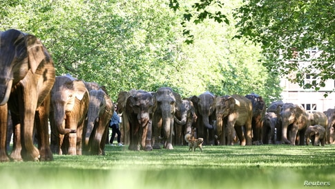 A dog walks past an exhibition of life-size elephant sculptures, part of the CoExistence campaign organized by the Elephant Family Trust, in Green Park in London.
