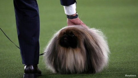 Wasabi, a Pekingese of East Berlin, Pennsylvania, is presented by his owner and handler David Fitzpatrick before winning the Best in Show at the 145th Westminster Kennel Club Dog Show at Lyndhurst Mansion in Tarrytown, New York, June 13, 2021.