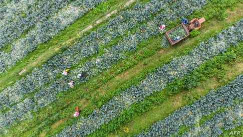 This aerial photo taken on July 8, 2021 shows farmers harvesting broccoli at a field in Bijie in China's southwestern Guizhou…