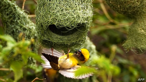 The Baya Weaver builds its nest on the outskirts of Ajmer, India.