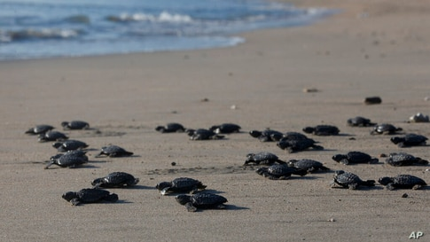 Baby turtles are released into the ocean in Bali, Indonesia on Tuesday, July 6, 2021. Dozens of newly hatched Lekang turtles…