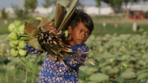 A boy collects lotus flowers in Krasaing Chrum village on the outskirts of Phnom Penh, Cambodia.