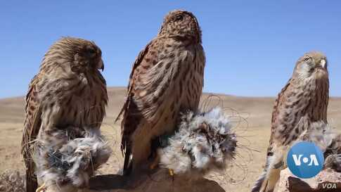 Despite Presidential Decree Against Hunting Wildlife, Hunters In Afghanistan Continue Chasing Rare Birds for Profits