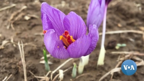 Afghan Farmers Learn About Economic Benefits of Saffron Crops