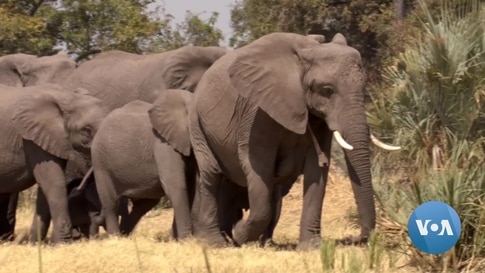 Botswana to Repatriate Elephants to Angola to Reduce Overpopulation
