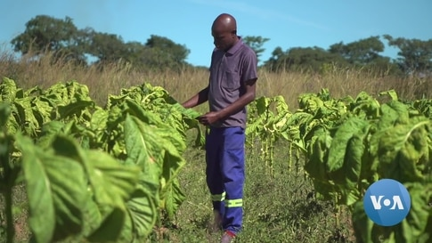 Zimbabwe Sees Tobacco Future Despite Anti-Smoking Campaigns
