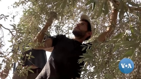 In Palestinian Olive Harvest, Cruelty -- and Compassion -- on Display