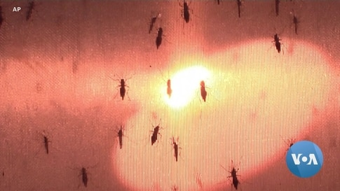 Lab-Grown Mosquitos Capable of Fighting Viral Infection