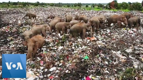 Drone Footage Shows Elephants Foraging for Food in Sri Lanka Garbage Dump