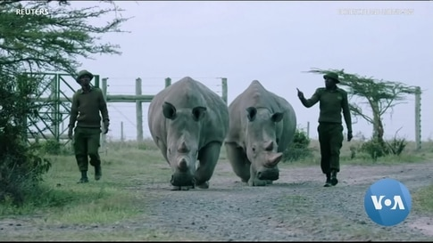 On the Brink of Extinction, the Northern White Rhino Now Has a Chance at Survival