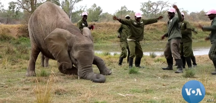 Zimbabwe's Rescued Wildlife Joins Jerusalema Dance Challenge
