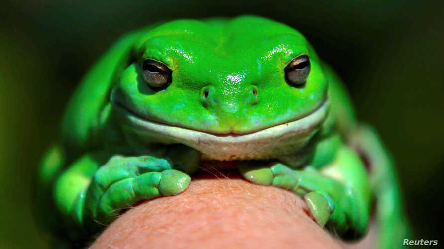 An Australian Green Tree frog named Godzilla sits on the hand of Kathy Potter of the Frog and Toad Study Group during the launch of the Australian Museum's national frog count phone app called FrogID in Sydney, Australia, Nov. 10, 2017.