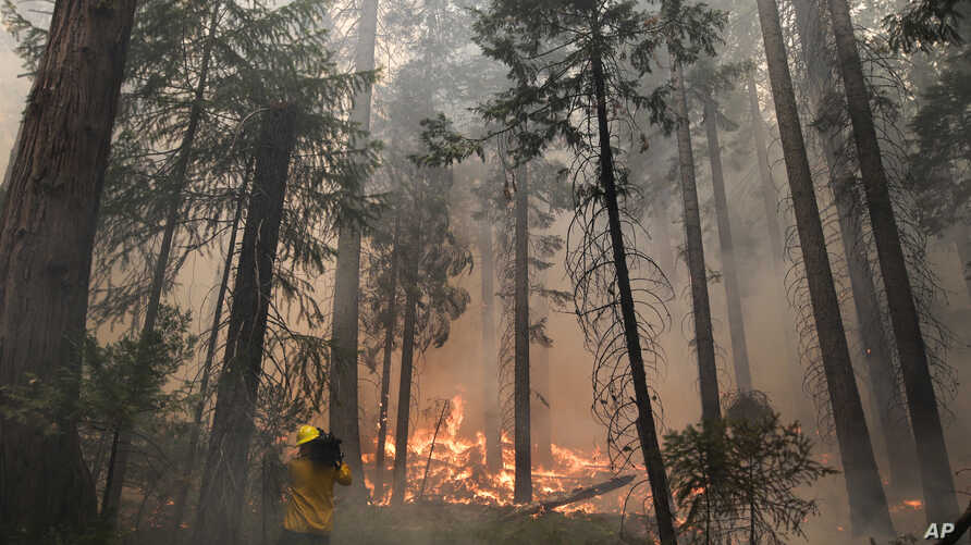 A videographer records the Rim Fire burning through trees near Yosemite National Park, California,  August 27, 2013.