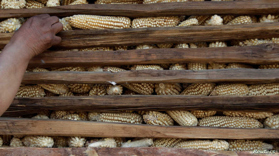 A farmer touches corn stored in a granary at a farm in Otzolotepec, on the outskirts of Mexico City, Feb. 7, 2017.