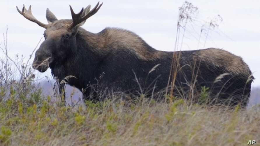 A moose visits Tupper Lake, New York on October 12, 2009 in the wetlands just outside the village.