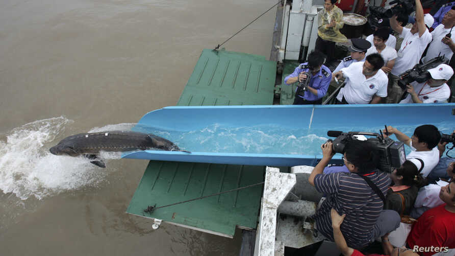 FILE - A Chinese sturgeon, which was injured and rescued earlier, is released into the Yangtze river in Shanghai.