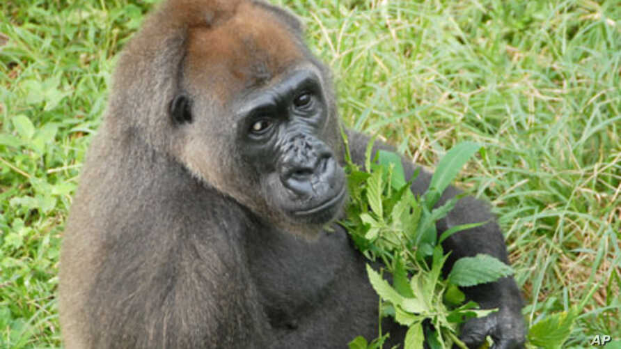 Cameroon Woman Works To Save Gorillas Voice Of America English