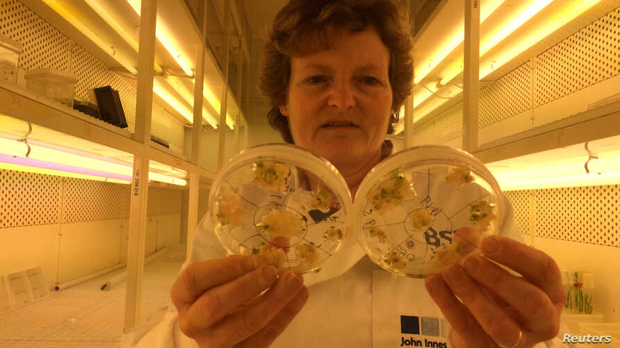 FILE - Professor Wendy Harwood poses for a photograph in a plant breeding incubator room with barley plants that have undergone gene editing at the John Innes Centre in Norwich, Britain, May 25, 2016.